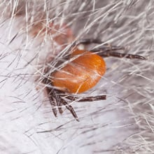 Tick Bites on Dogs and Cats - Treat Your Pet for Ticks