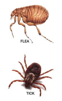 Tick Bites vs Flea Bites - Learn the Difference