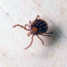 Tick Nymph – Third Stage of the Life Cycle