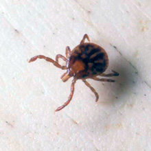 Tick Nymph - Third Stage of the Life Cycle