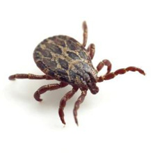 Adult Tick - Fourth and Final Stage of the Life Cycle
