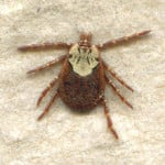 Rocky Mountain Wood Tick – Dermacentor Andersoni