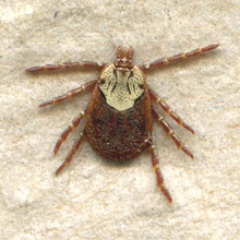 Rocky Mountain Wood Tick - Dermacentor Andersoni
