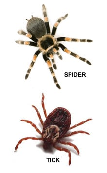 Tick Bites vs Spider Bites - What is the Difference?