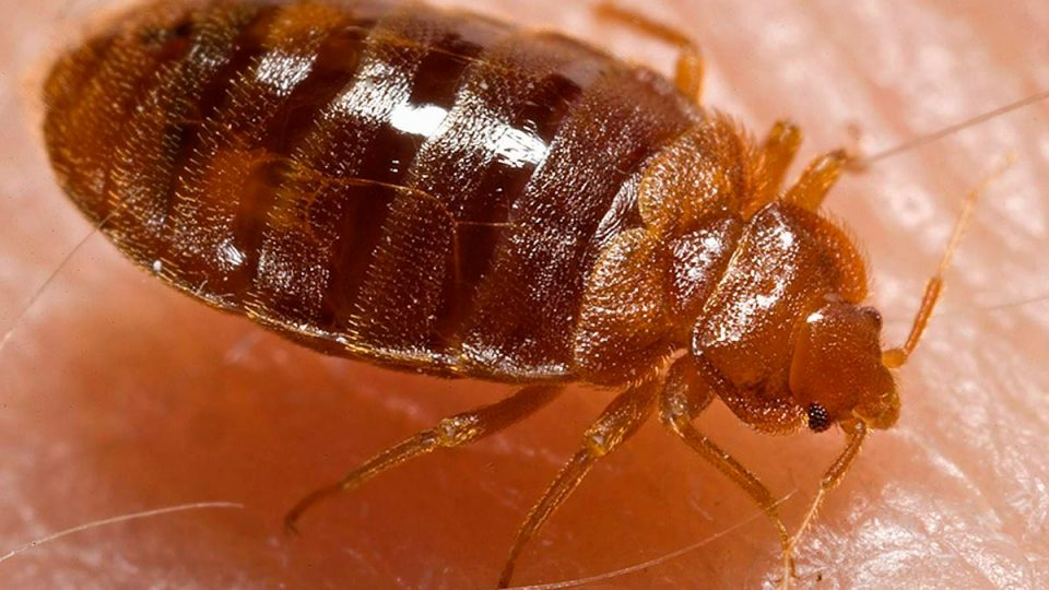How to Get Rid of Bed Bugs Forever - Complete Guide to Bed Bug Control