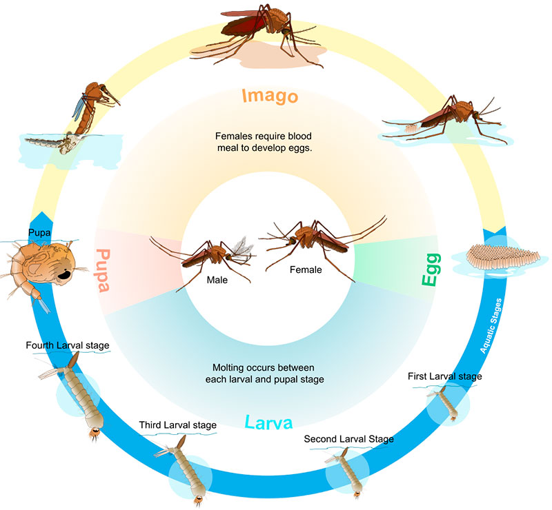 Life cycle of mosquitoes