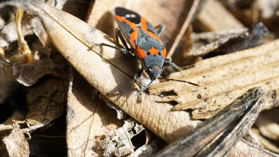 How to Get Rid of Boxelder Bugs Forever - Complete Guide to Boxelder Bug Control