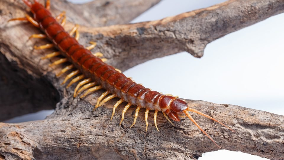 How to Get Rid of Centipedes Forever - Complete Guide to Centipede Control