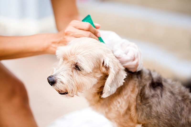 How to apply flea control products
